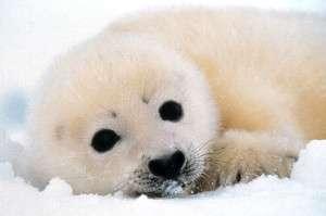 Whitecoat Seal Pup